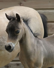 Modello Hawks Buck Blue Nell Hawk, miniature filly